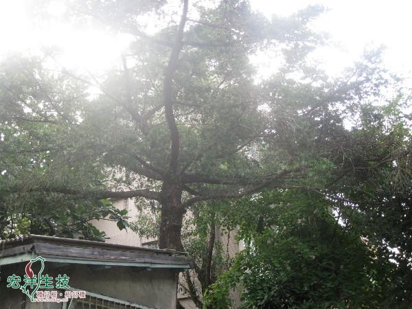 麗水街的台灣油杉
