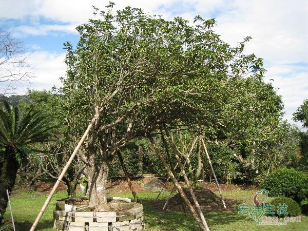 百年超大桂花樹