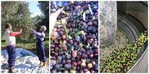 橄欖採收與製作流程