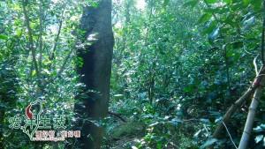 飛鳳山牛樟樹林