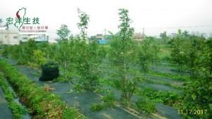 牛樟樹採穗園 (2)