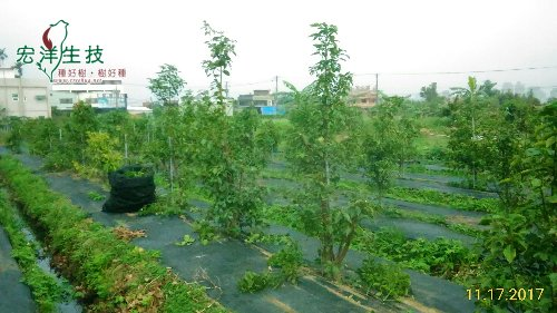 水稻田牛樟樹採穗園 (2)