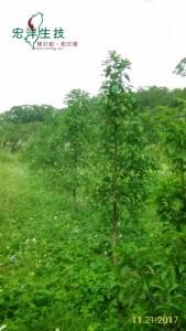 牛樟樹採穗園