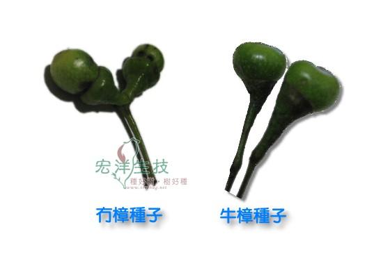 冇樟與牛樟種子