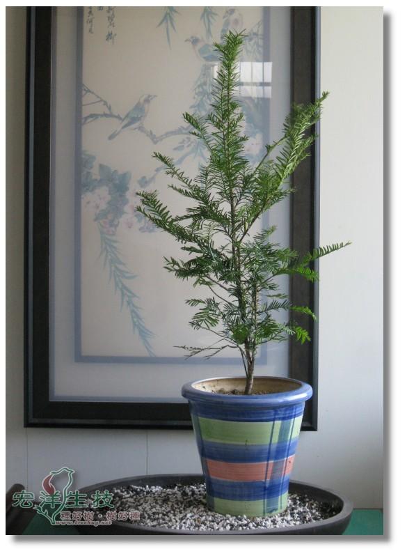 神奇的紅豆杉盆栽