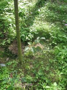 牛樟樹造林實例近拍