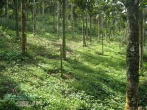 牛樟樹造林實例