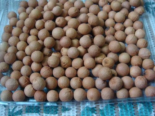 印度檀香種子