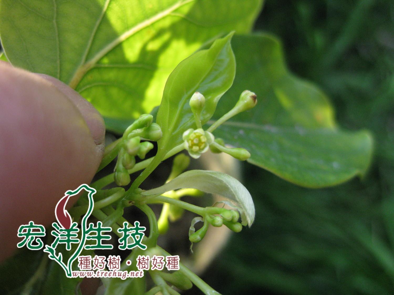 牛樟花之生理構造
