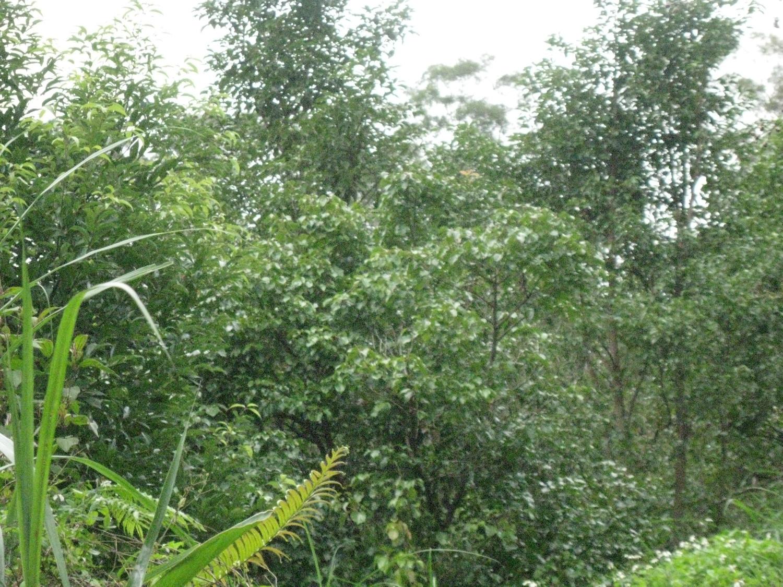 新竹低海拔山坡牛樟樹造林8年林