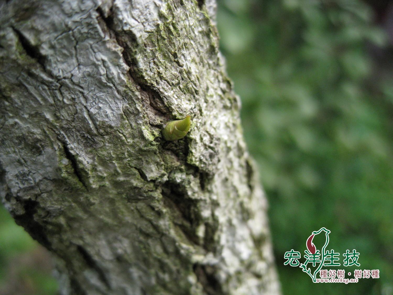 牛樟( Cinnamomum kanehirai Hay )
