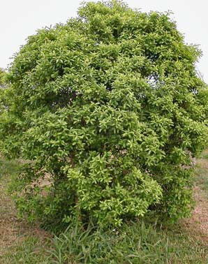 Santalum austrocaledonicum新克里多尼亞檀香