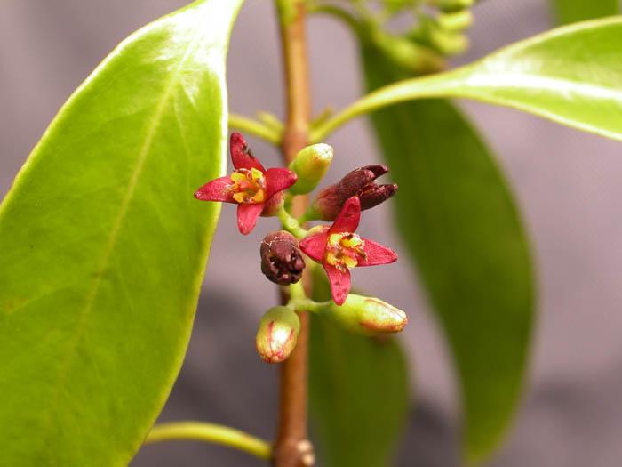 巴布亞檀香 Santalum macgregorii