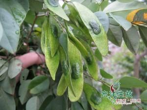海南黃花梨種子