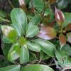 2013牛樟樹 ( Cinnamomum kanehirai Hay ) 各品系 新芽