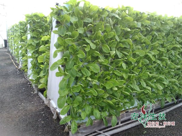 氣霧栽培健康無毒蔬菜