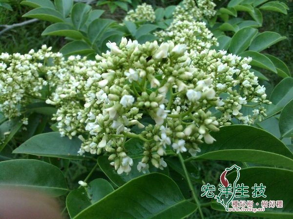 海南黃花梨開花