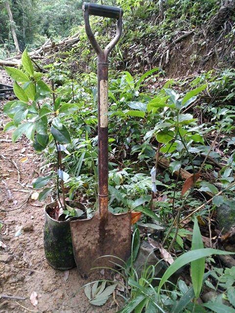 牛樟樹造林