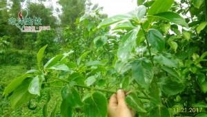 牛樟樹採穗園 (1)