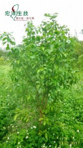 牛樟樹採穗園 (3)